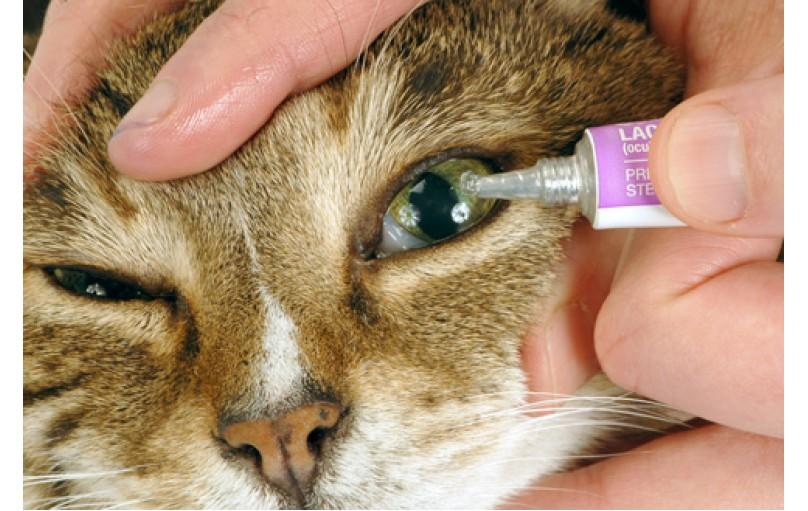 Kedilerde Göz Damlası nasıl uygulanır