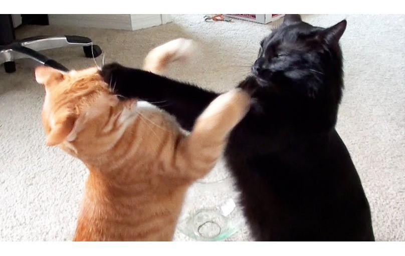 Kedilerin Oynuyor mu Savaşıyor mu bu durum Nasıl Anlaşılır?