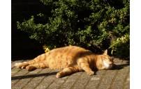 Kedilerde Sıcak çarpması
