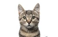 Bölüm 2 Kedilerin Sınıflandırılması: Vücut Tipleri