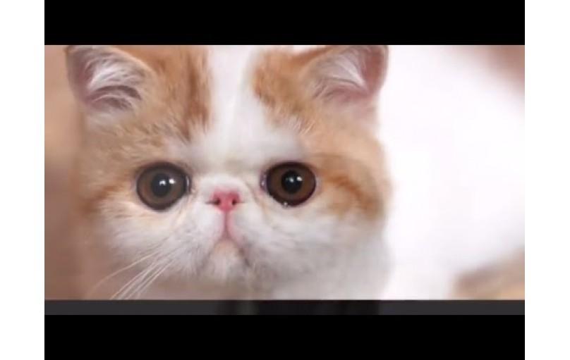 Bölüm 1 Kedilerin Sınıflandırılması: Vücut Tipleri