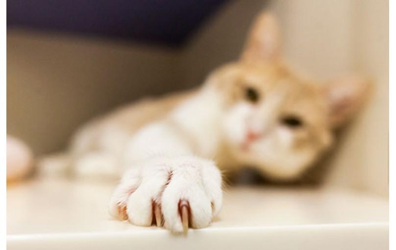 Kedinizin Tırnaklarını Kesmek
