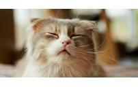 Kedi Kusması