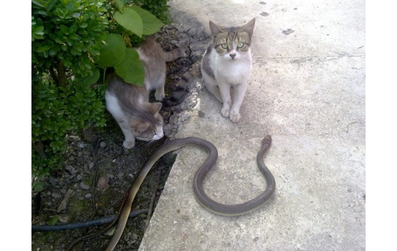 Kedilerde Yılan ve Kertenkele Isırıklarını Tedavi Etmek