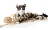 Kedilerde Yün Çiğneme Davranışı