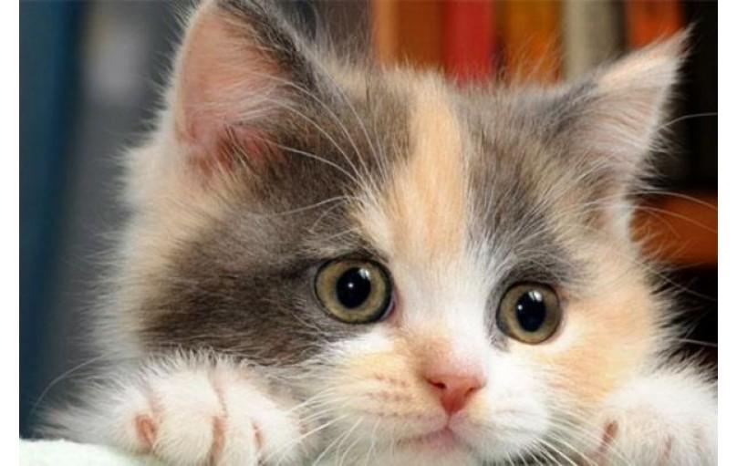 Yavru Kedilerde Yaygın Hastalıklar