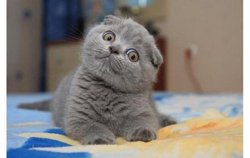 Scottish Fold Kedilerin Genetik Kusurları