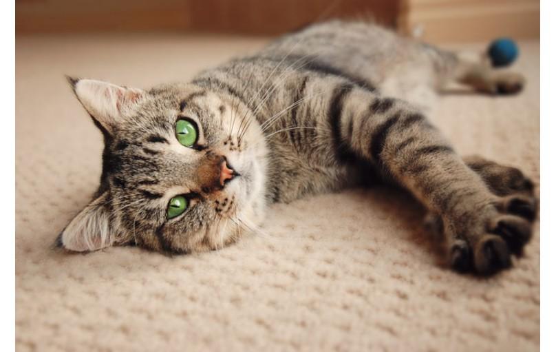 Soy ağacı olmayan kedilerin sınıflandırılması